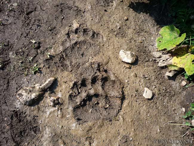 Медвежьи следы фото