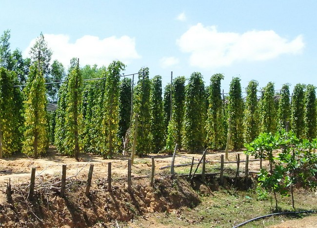 плантации перца фукуок