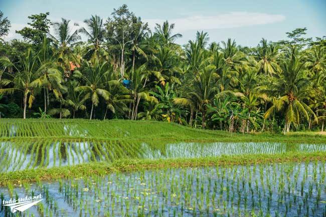 Рисовые террасы Убуд