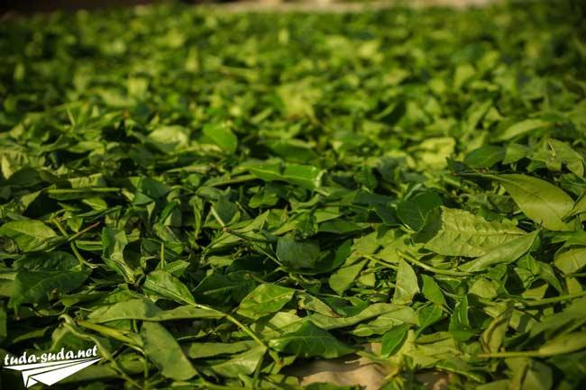 Чай листья