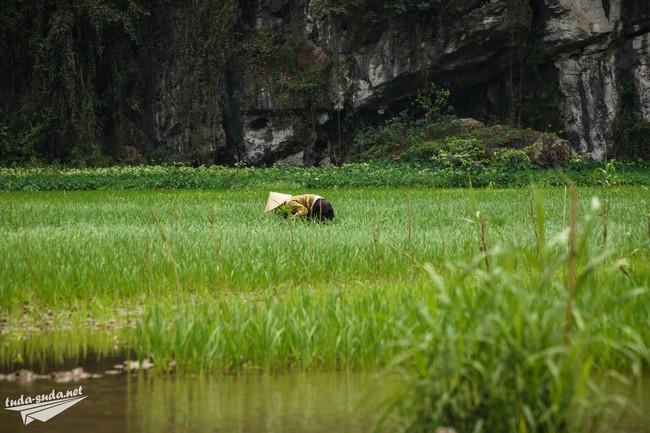 вьетнам выращивание риса