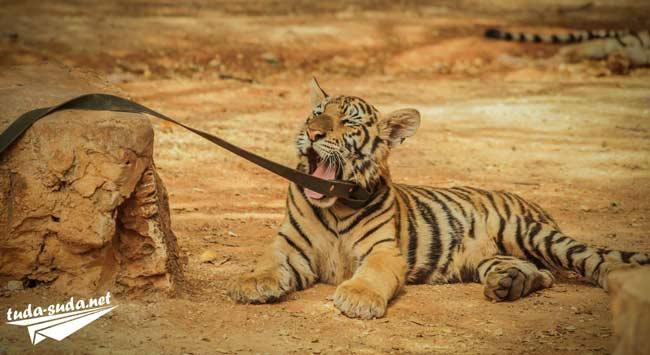 Монастырь с тиграми