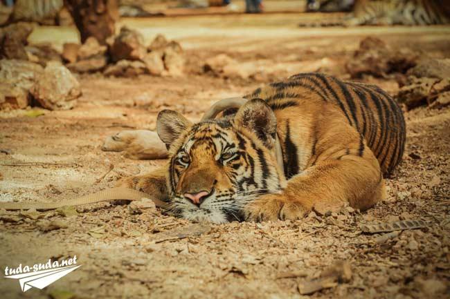 Канчанабури тигриный храм