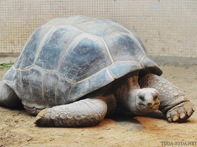 Огромная черепаха фото
