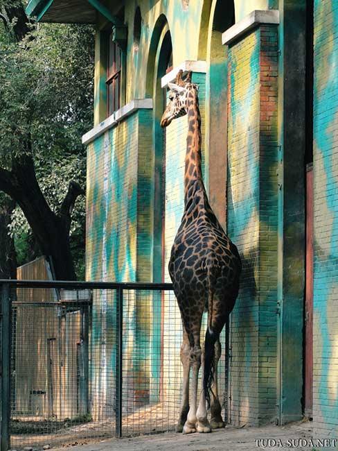 Жираф зоопарк Пекин