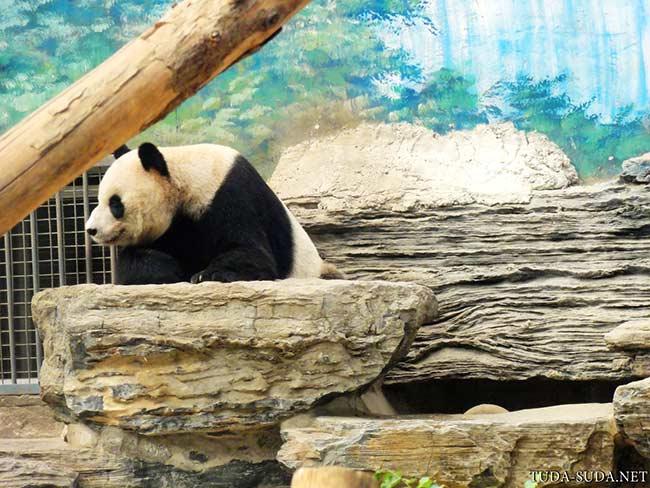 Панда фото