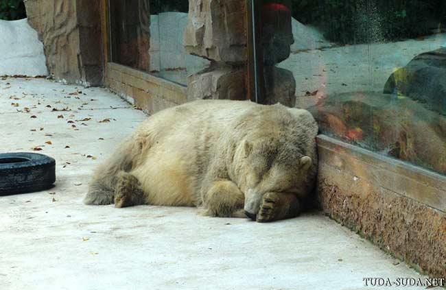 Белый медведь Пекин