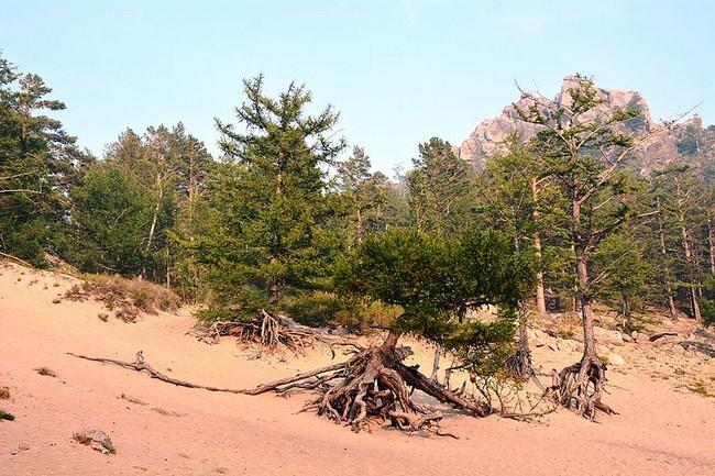 ходульные деревье бухта Песчаная