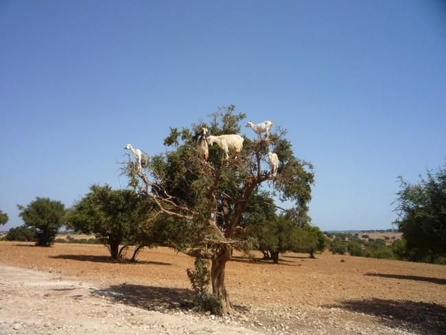 козы на деревьях марокко