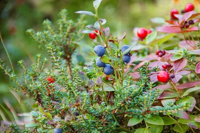 ягоды Кольский полуостров