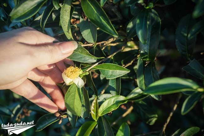 Цветы чайного куста