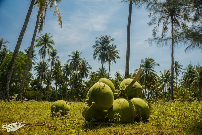 кокос пальма фото