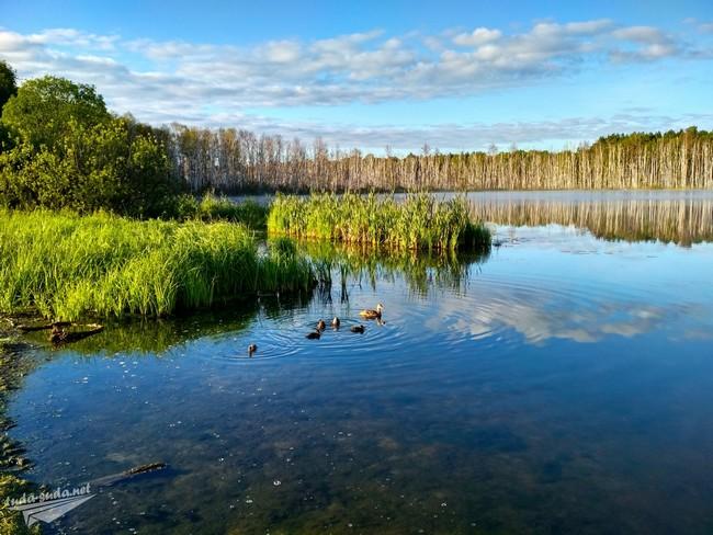 утки на озере фото