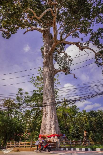 Дерево Панган