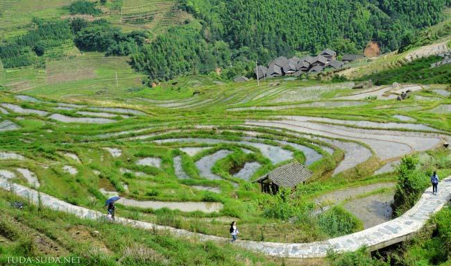 Как выращивают рис