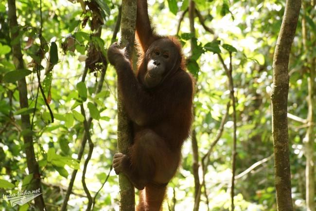 орангутан Малайзия