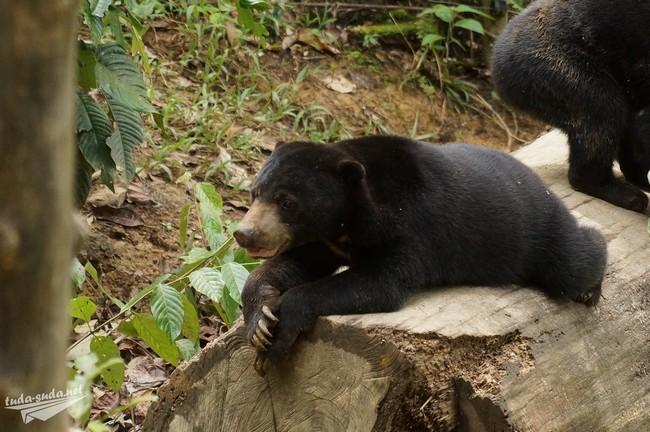 Малайский медведь