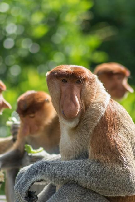 обезьяна носач Борнео