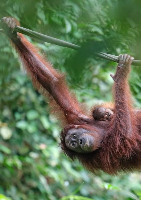 орангутаны Борнео Малайзи