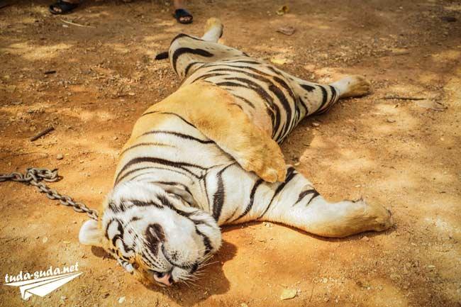 Спящий тигр фото